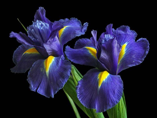 Ирисы фиолетовые цветы
