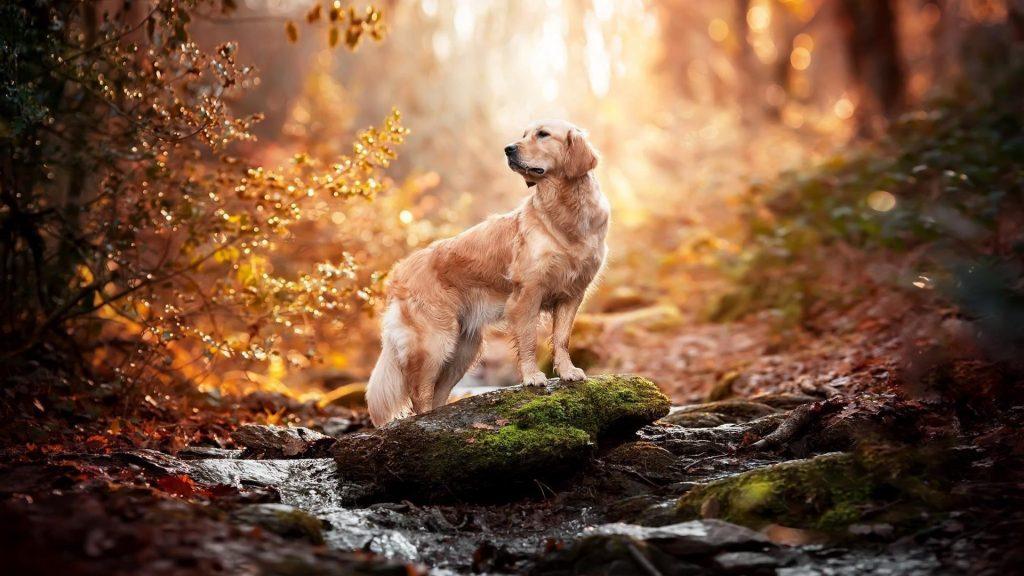 Золотистый ретривер собака стоит на покрытой водорослями скале на фоне синего леса собака обои скачать