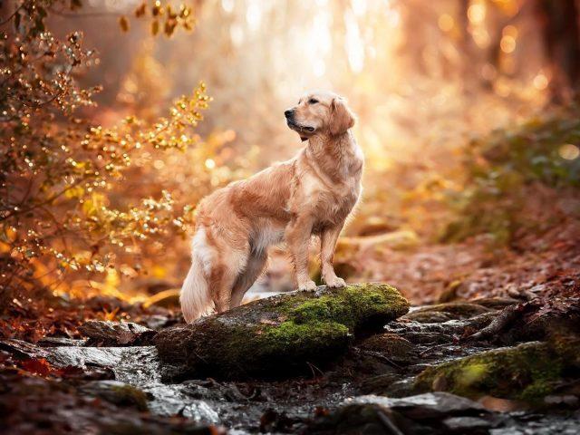 Золотистый ретривер собака стоит на покрытой водорослями скале на фоне синего леса собака