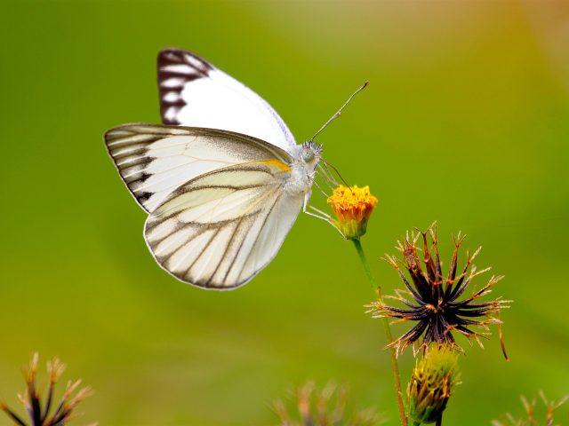 Белые черные линии бабочка на желтом бутоне цветка на зеленом фоне бабочка