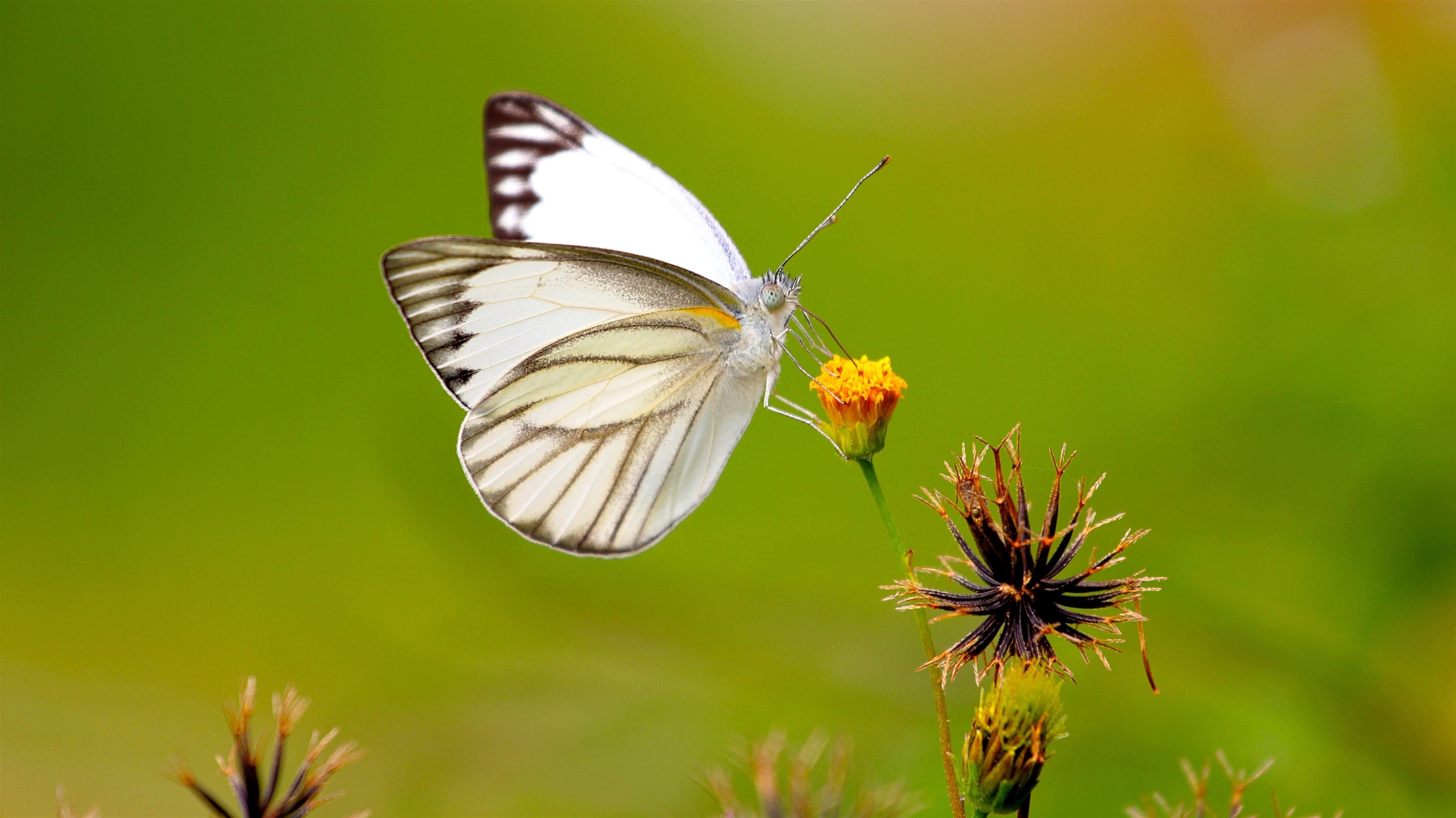 Белые черные линии бабочка на желтом бутоне цветка на зеленом фоне бабочка обои скачать