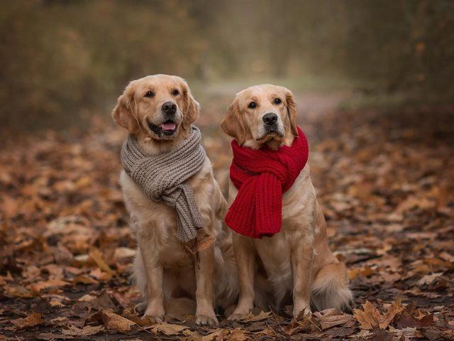 Две золотистые собаки ретриверы сидят на земле с сухими листьями одетые в красно коричневый шарф собака