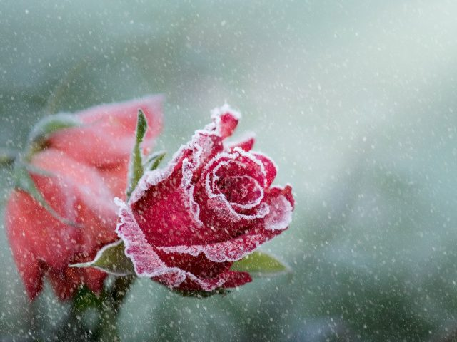 Роза иней снег.