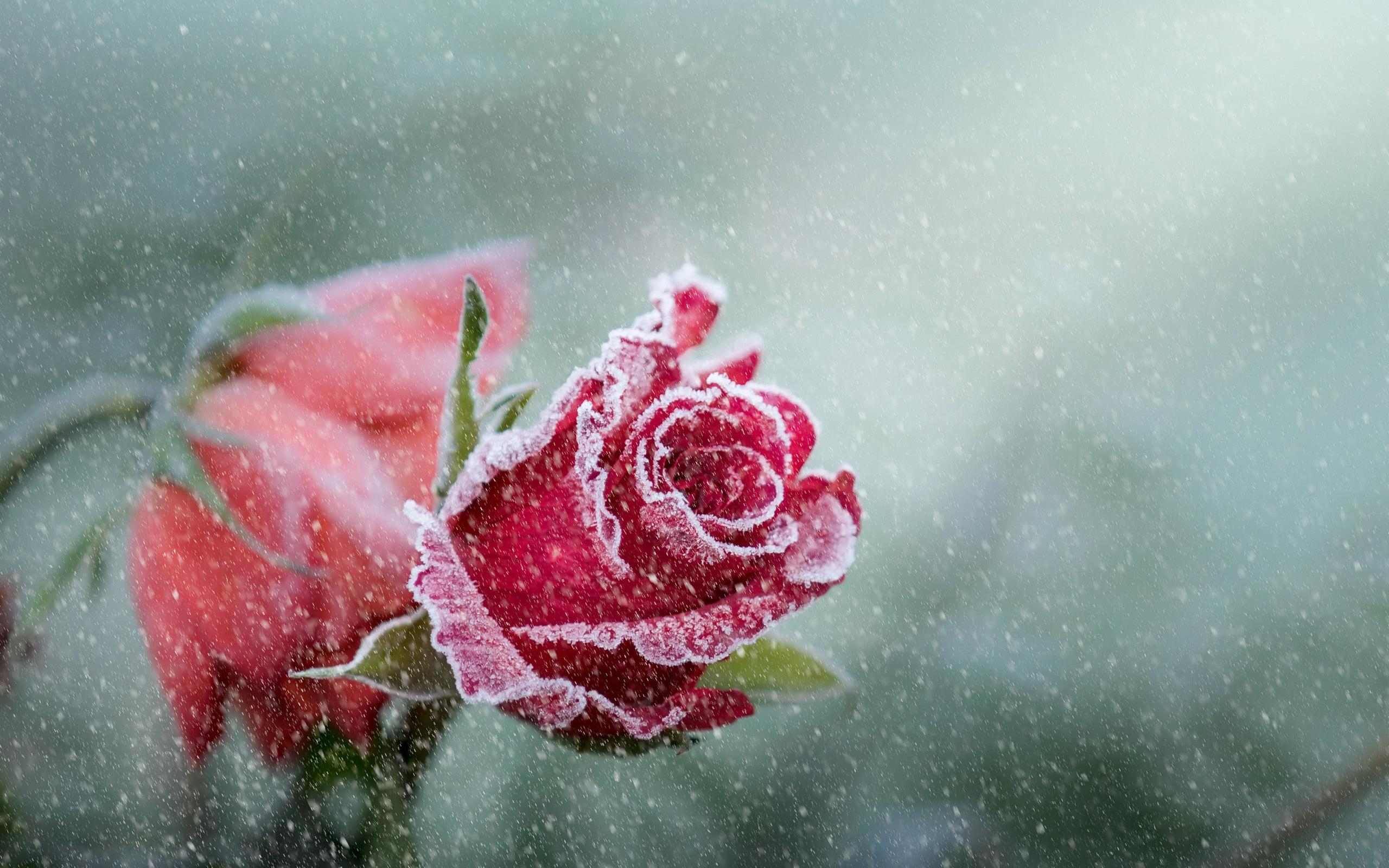 Роза иней снег. обои скачать