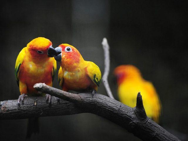 Две желтые красный зеленый солнечная аратинга попугаи сидят на ветке дерева в размытия фона животных