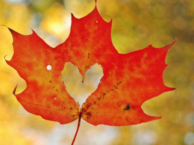 Любовь сердца кленовый лист.