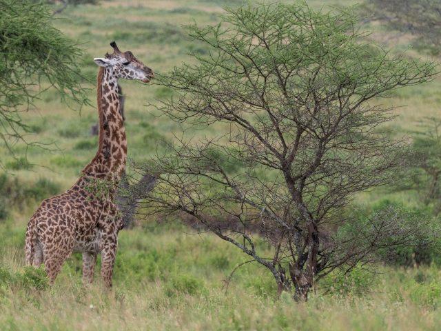 Жираф животное Саванна кусты