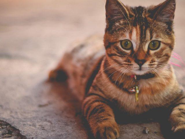 Коричневый черный кот с пристальным взглядом кошки