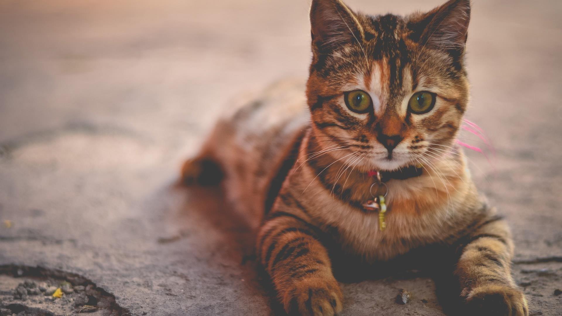 Коричневый черный кот с пристальным взглядом кошки обои скачать