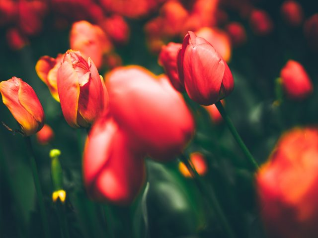 Тюльпаны 8к.