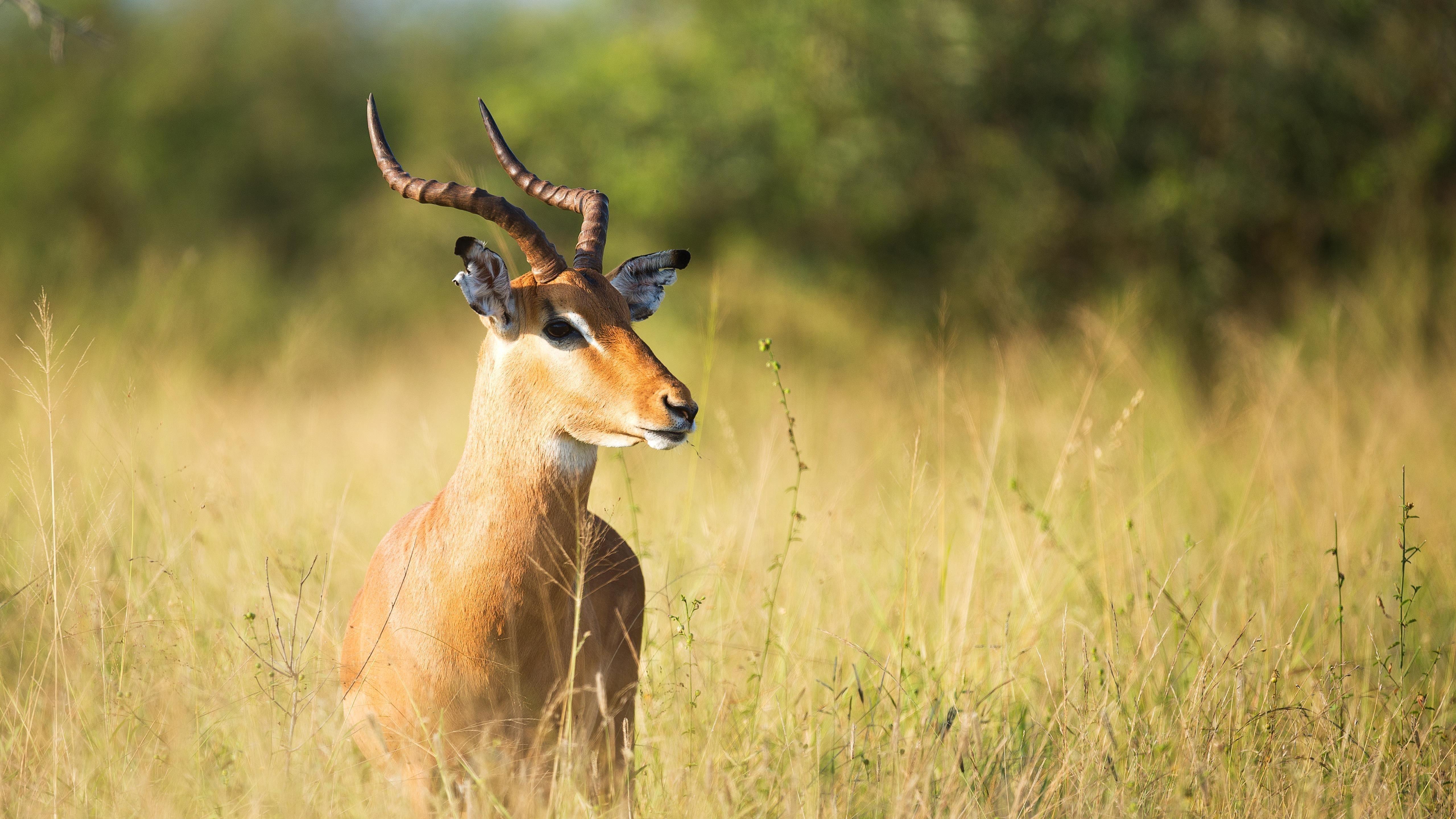 Бурая антилопа на зеленой траве обои скачать