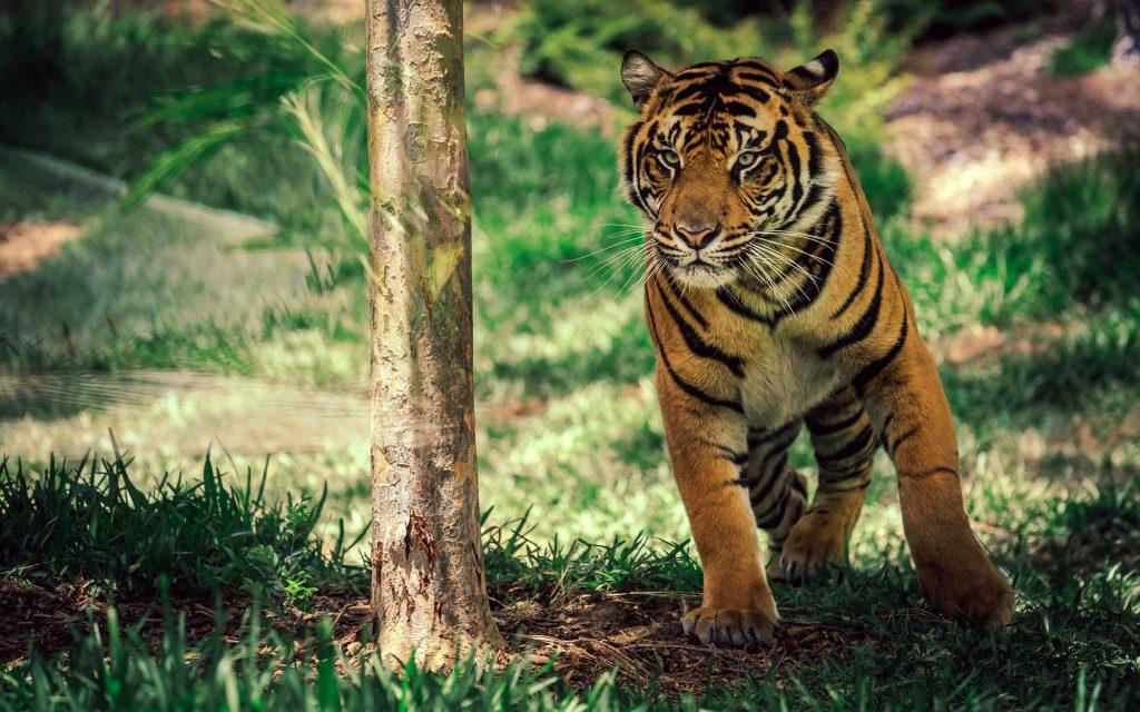 Саванна тигр диких животных. обои скачать