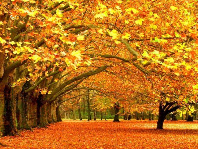 Желтые кленовые листья деревьев и листья на земле природа