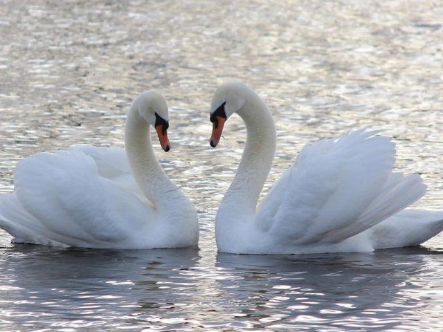 Две белые лебеди, плавающие в водоеме животных