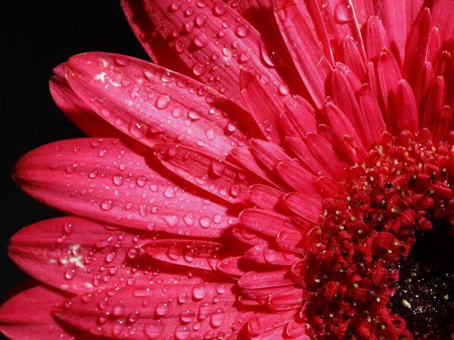 Розовый цветок герберы