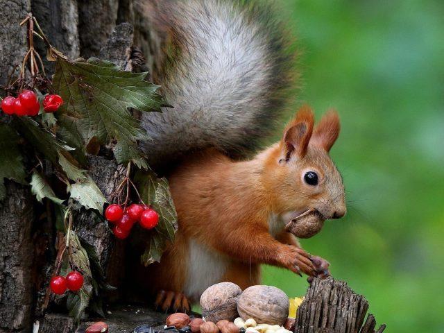 Коричневая белка на стволе дерева ест орехи животные