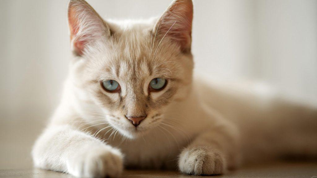 Белая кошка лежит на полу в белом размытом фоне кошки обои скачать