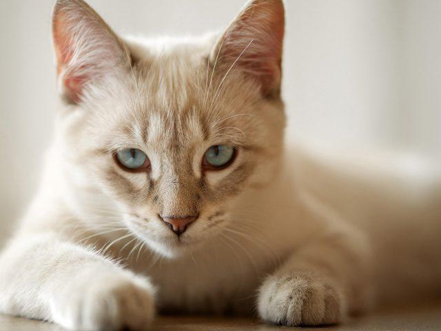 Белая кошка лежит на полу в белом размытом фоне кошки