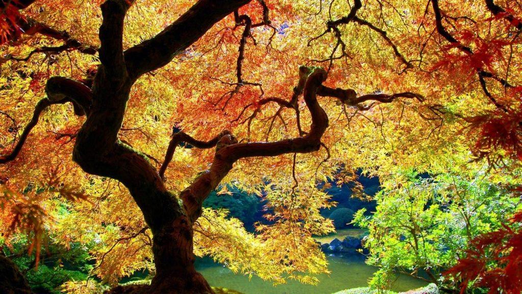 Красочное лиственное дерево в лесу рядом со спокойным водоемом природа обои скачать