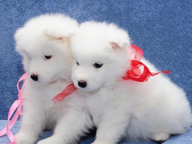 Самоед два белых щенка лежат на голубом диване животные