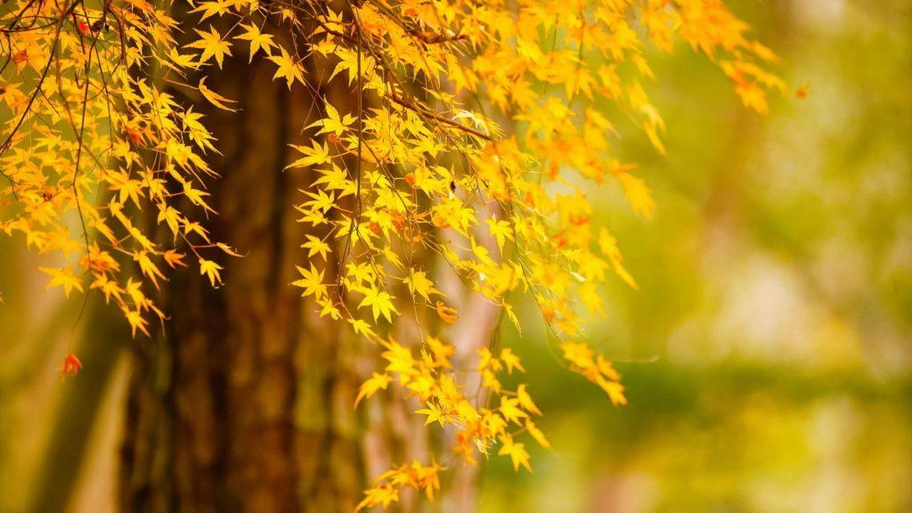 Осеннее дерево желтые листья на сине зеленом фоне природы обои скачать