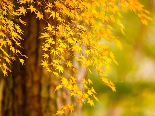 Осеннее дерево желтые листья на сине зеленом фоне природы