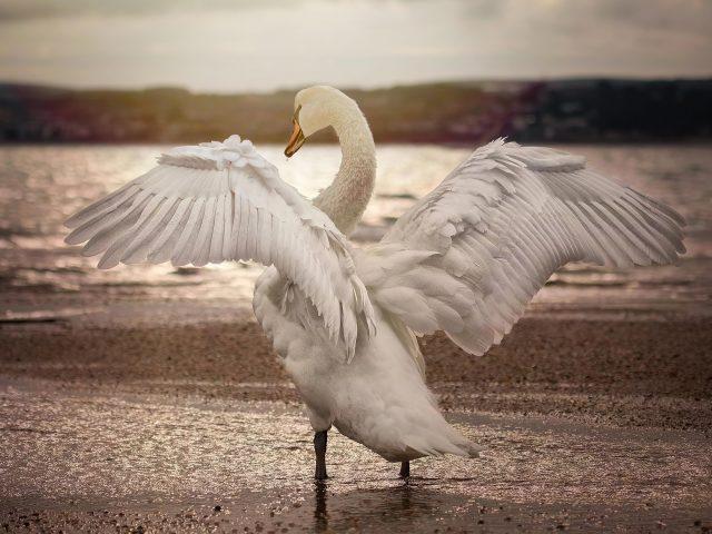 Лебедь раскрывает крылья