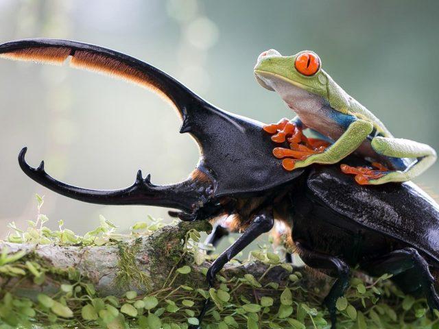 Зеленая древесная лягушка на вершине слона олень Жук