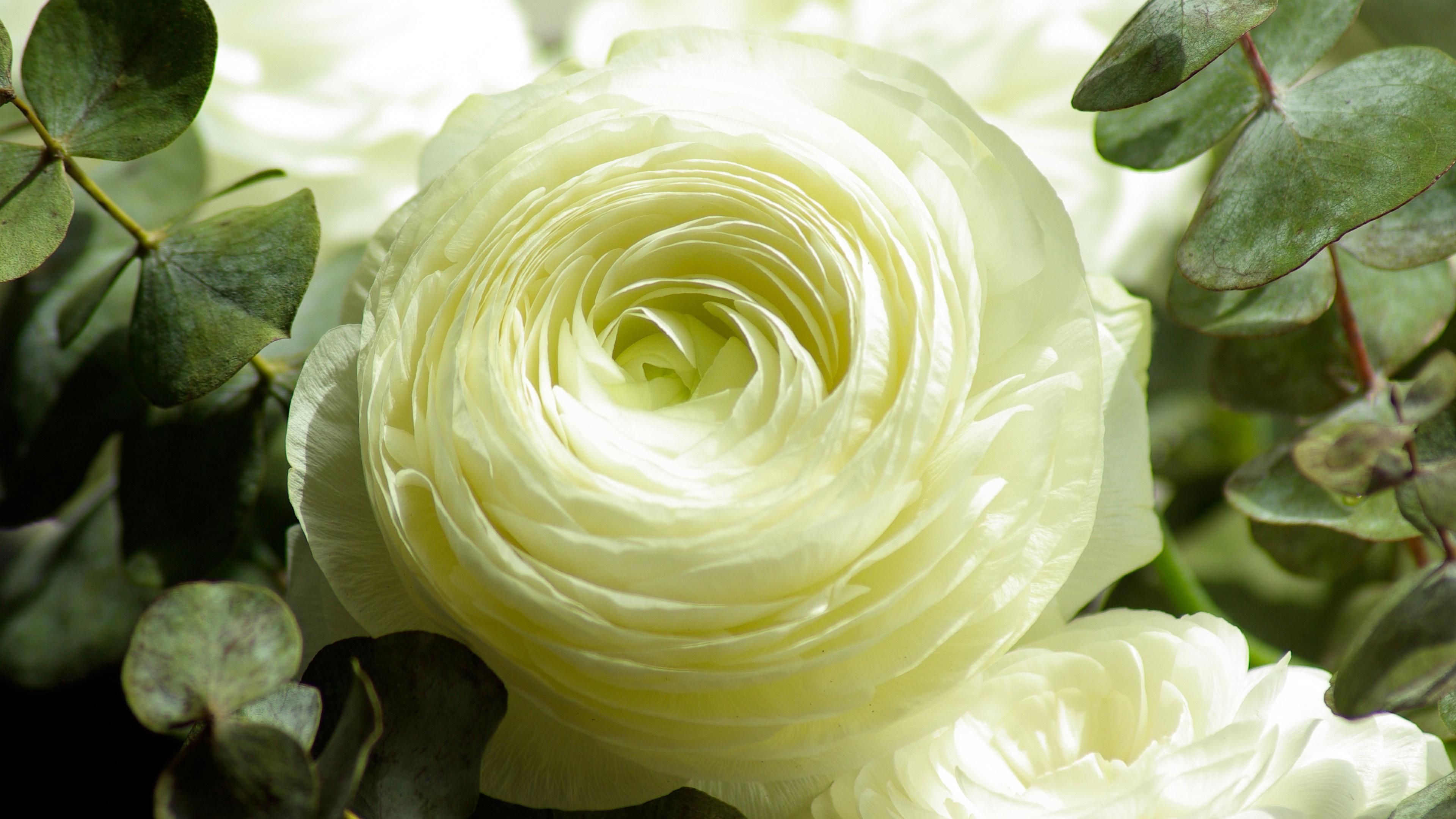 Персидский Лютик белый цветок. обои скачать