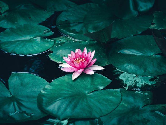 Цветок лотоса в воде
