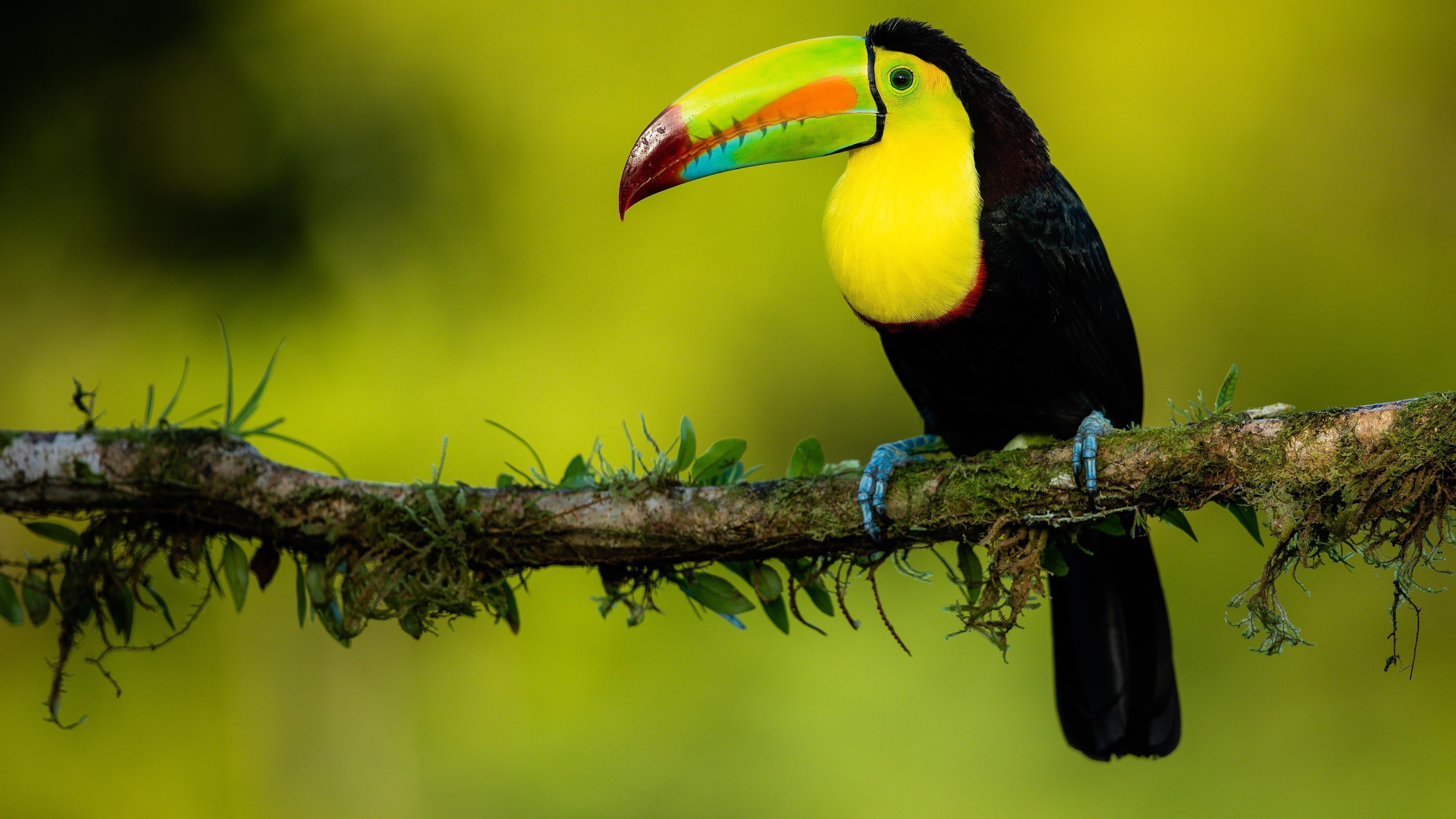 Черно желтый красочный острый нос тукана стоит на ветке дерева в зеленом размытом фоне животных обои скачать