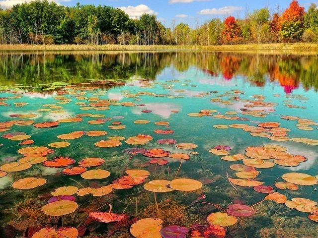 Листья лотоса на водоеме в окружении зеленых деревьев в дневное время с отражением природы