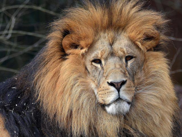 Лев животное 3 животные