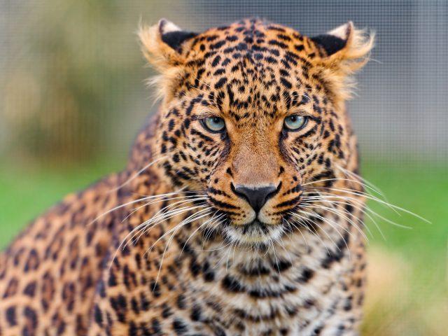 Молодой леопард.