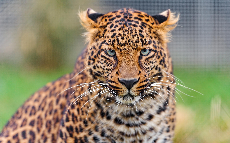 Молодой леопард. обои скачать