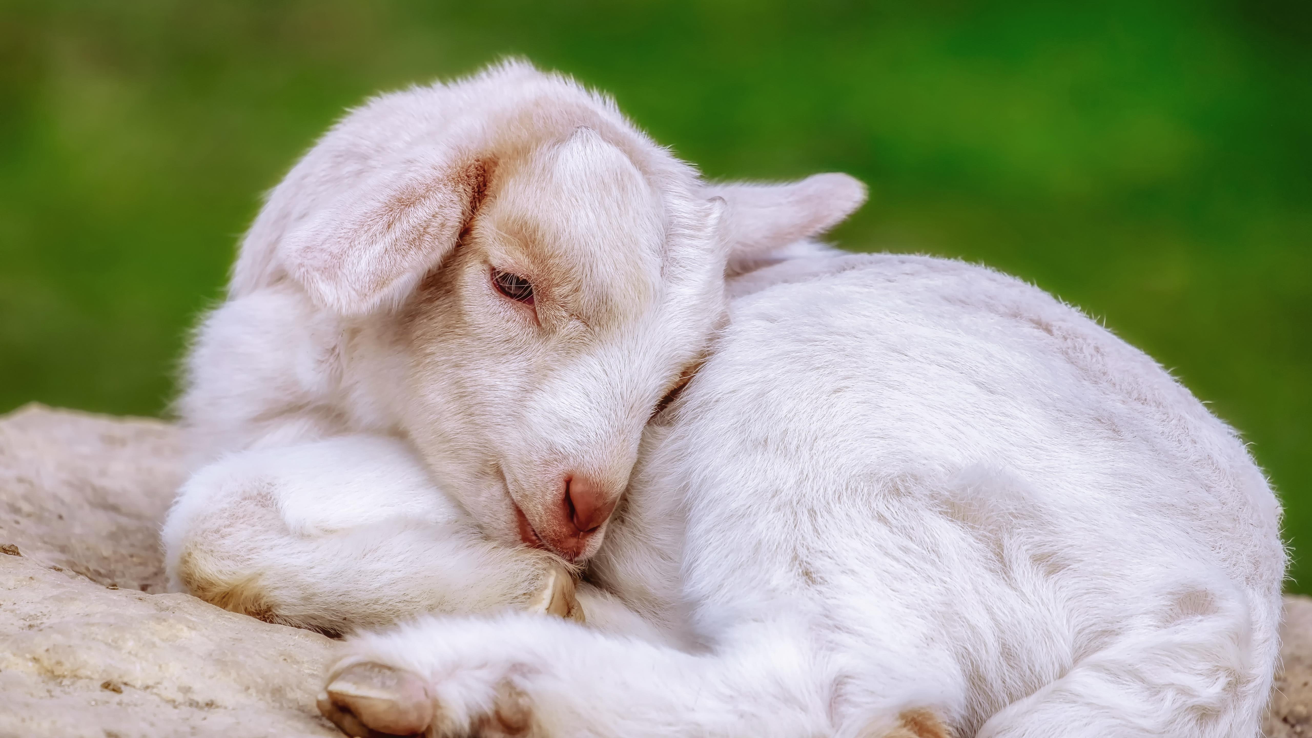 Животное коза животные обои скачать