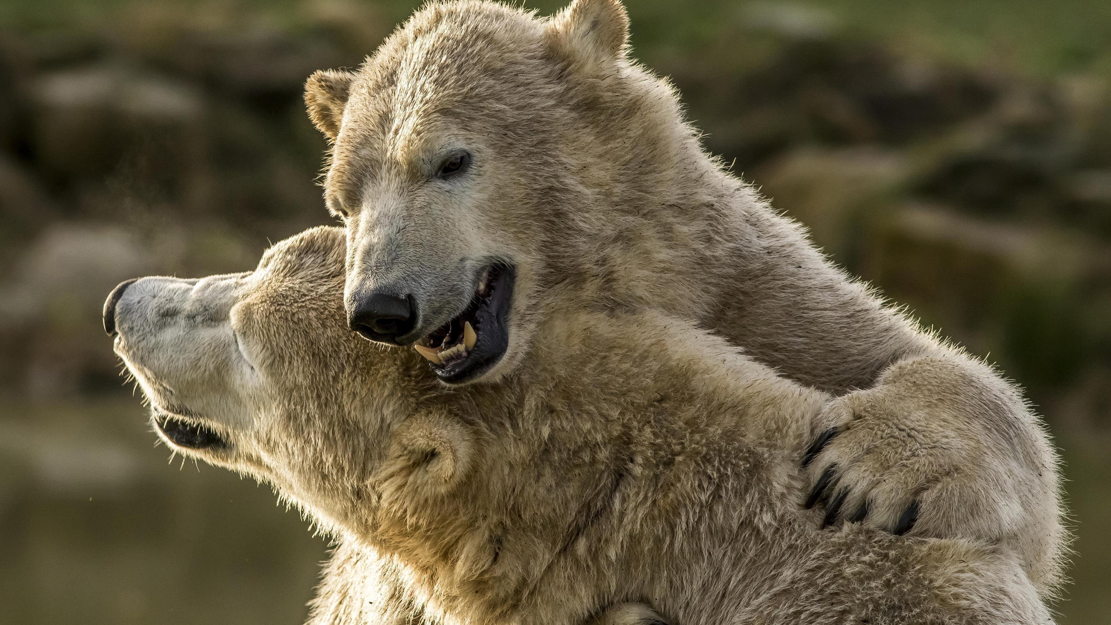 Полярный медведь обои скачать