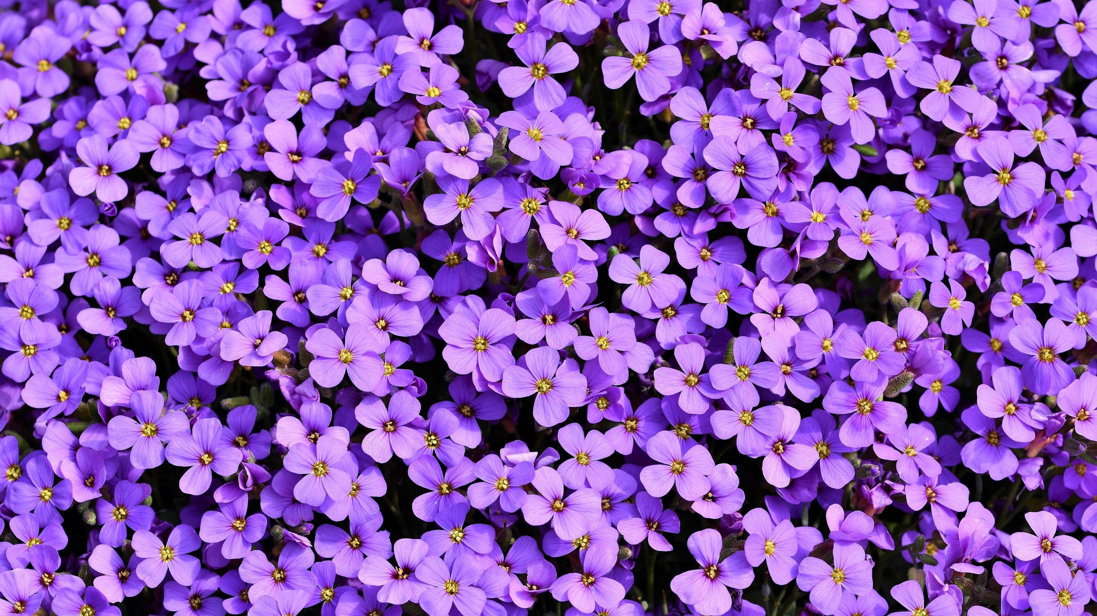 Фиолетовые цветы aubrieta обои скачать