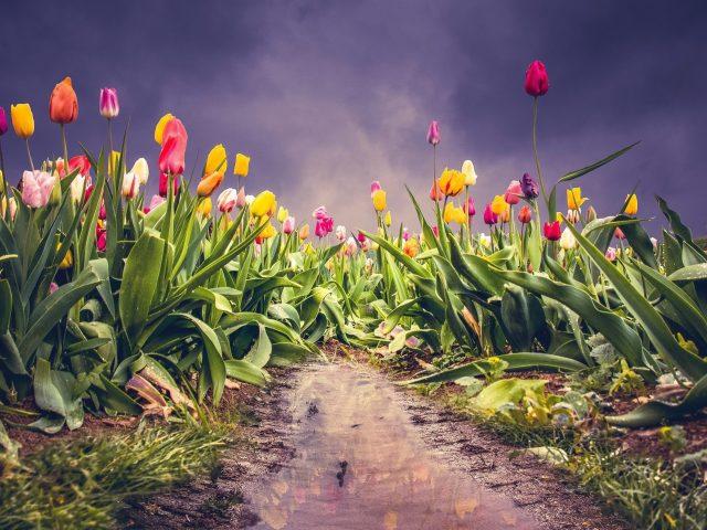 Земляной тюльпан