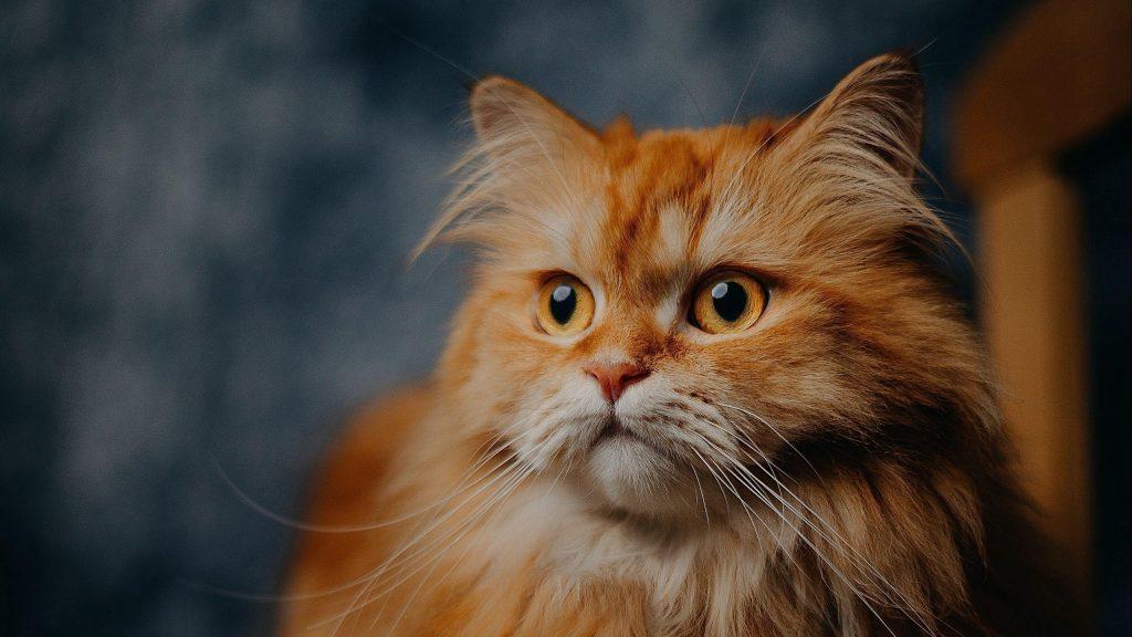 Желтые глаза коричневый белый кот на размытом фоне кошка обои скачать