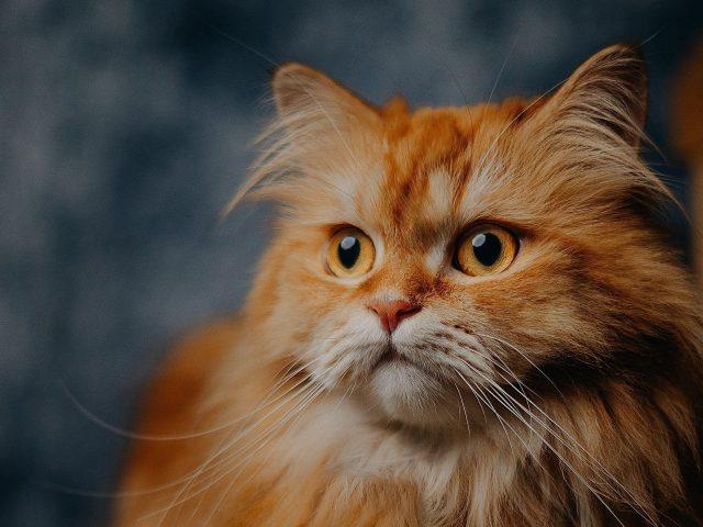 Желтые глаза коричневый белый кот на размытом фоне кошка