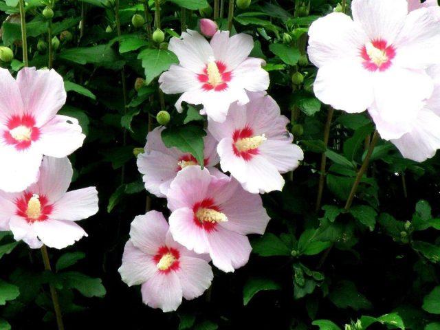 Цветы мальвы струящиеся высокие стебли цветочные цветы