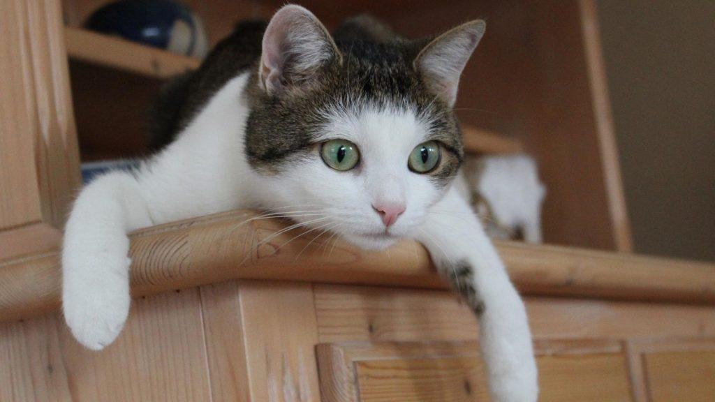 Кошка с зелеными глазами сидит из шкафа кошка обои скачать