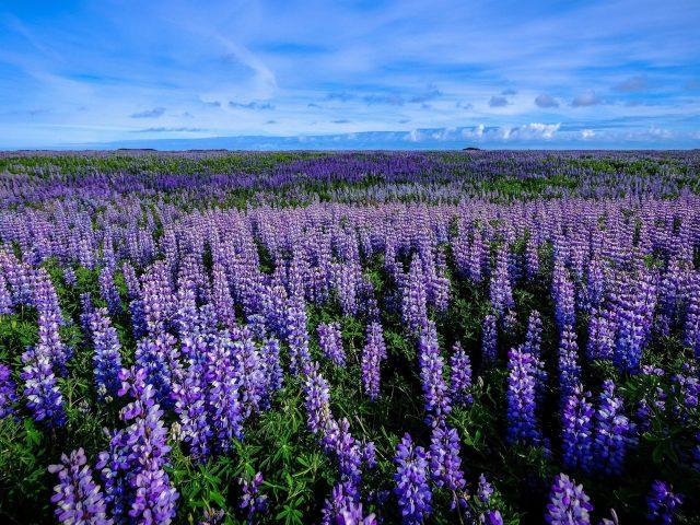 Полевой люпин пурпурный цветок во время летних цветков