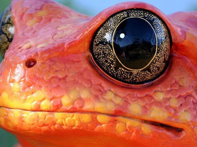 Красная лягушка животные природа амфибия макро глаза оранжевый