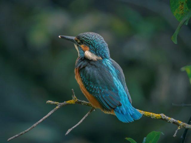 Синяя птица зимородок сидит на ветке дерева в размытом фоне животных