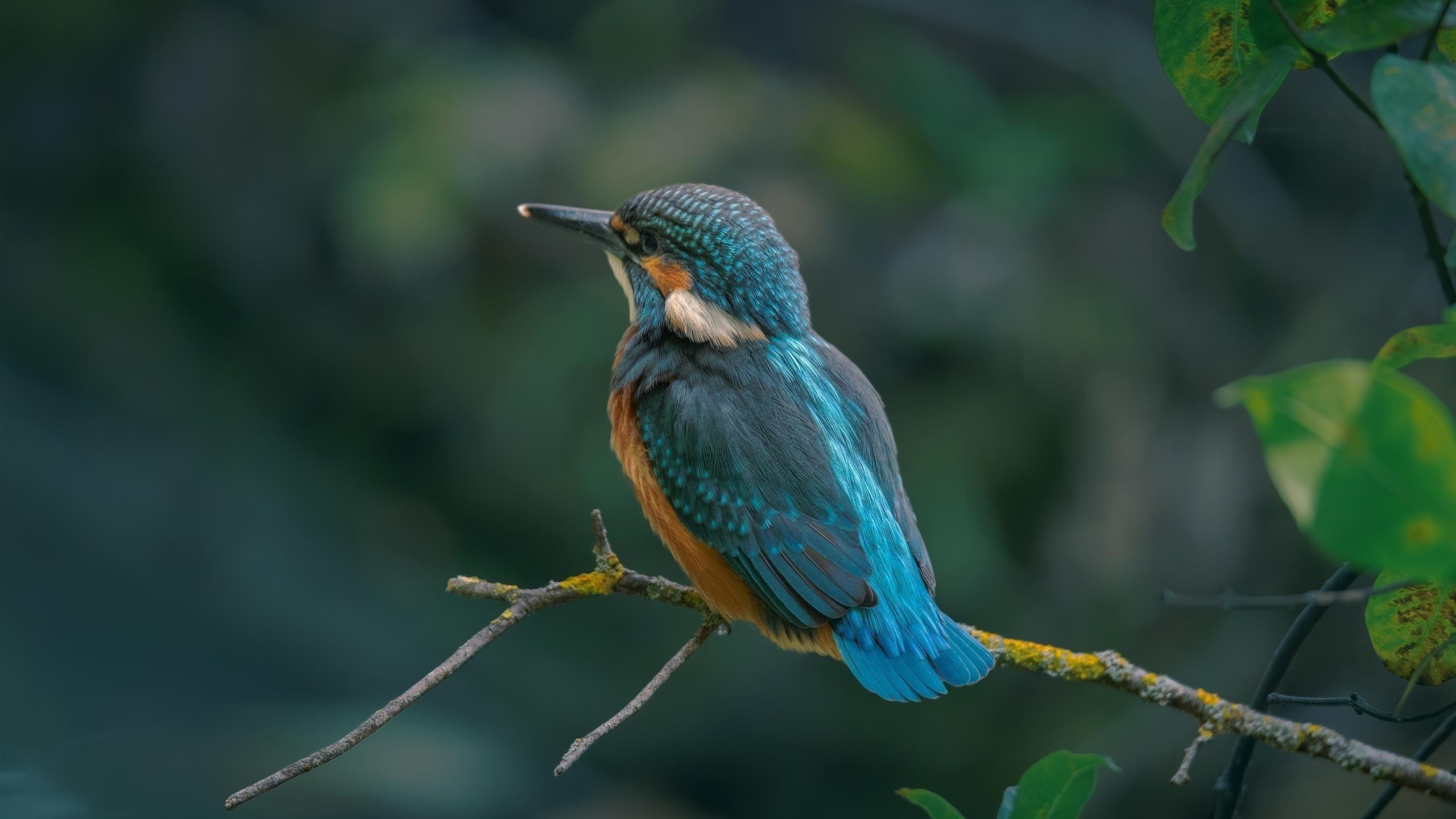 Синяя птица зимородок сидит на ветке дерева в размытом фоне животных обои скачать