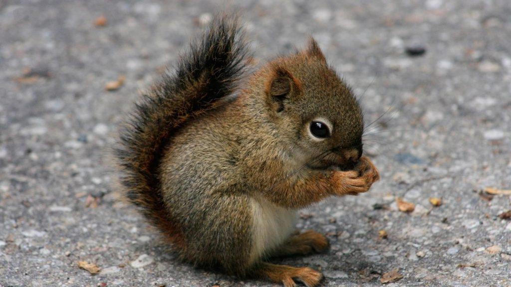 Ребенок коричневый черный белка на дороге ест орехи белка обои скачать
