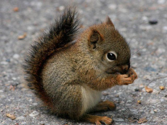 Ребенок коричневый черный белка на дороге ест орехи белка