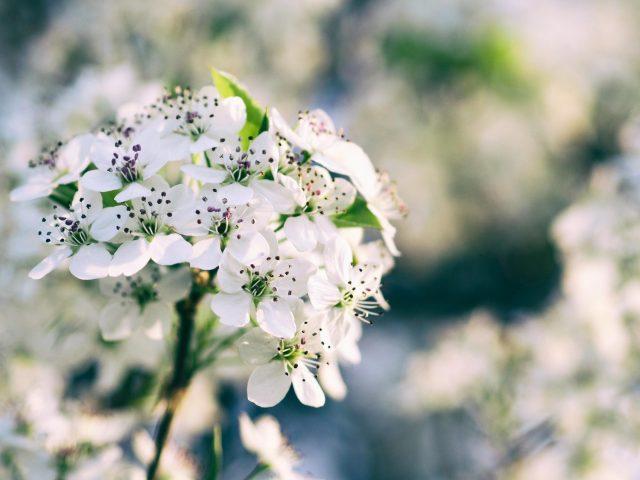 Белые цветы цветущей вишни размытие фоновых цветов